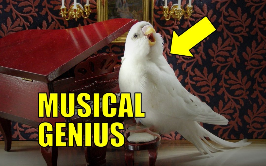 Songbirds are expert musicians