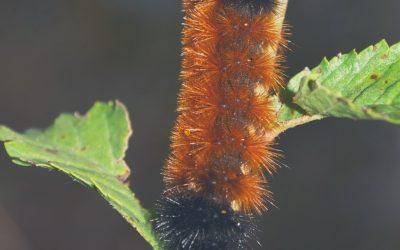 The Arctic Wooly-Bear Caterpillar