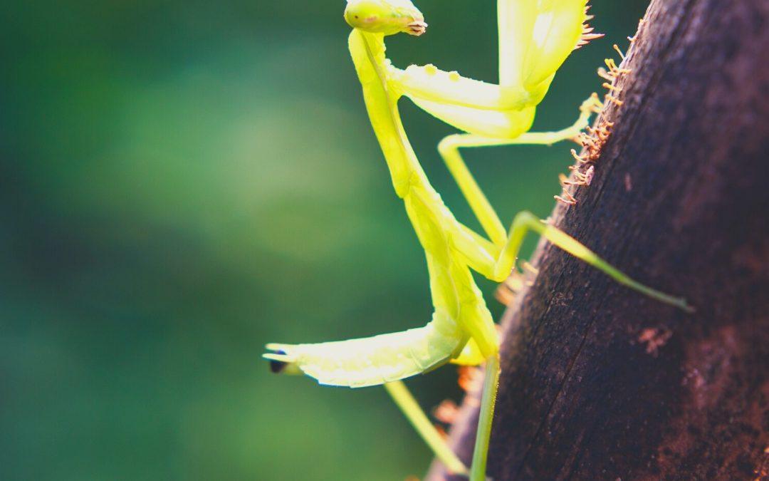 The Ultra-Hearing Mantis