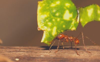 The Leafcutter Ant