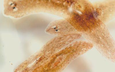 Flatworm Super Glue